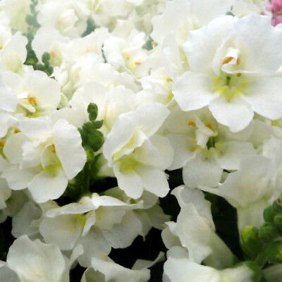 F0701 Snapdragon Twinny Double White x50 seeds Colour Flower Cottage Garden