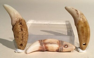 Taino Dog Teeth Pendants. One Animal Like. PreColumbian