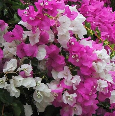 VICKY Bougainvillea glabra pink & white flowers climbing plant in 140mm pot