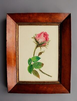 Watercolour Painting of Rose 19th Century