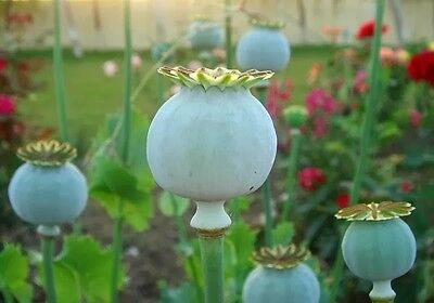 AMAPOLA COGOLLO GIGANTE giant poppy  50 Semillas Seeds