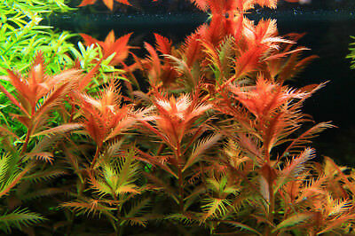 100pcs Red Umbrella Aquarium Plant Seeds Water Grasses Aquatic Plant Grass Fish