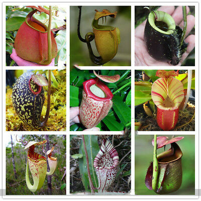 Eating Mosquito Carnivorous Plants Nepenthes Seeds 200pcs/bag Tropical Pitcher