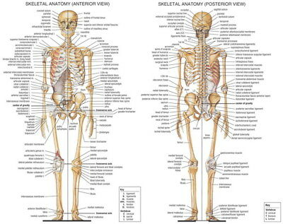 "002 Human System - Body Anatomical Chart Muscular Skeletal 30""x24"" Poster"