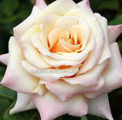 SPIRIT OF PEACE ROSE Hybrid Tea fragrant apricot coppery pink flowers plant