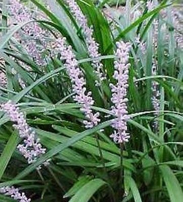 EVERGREEN GIANT Liriope muscari flowering border grass plant in 140mm pot