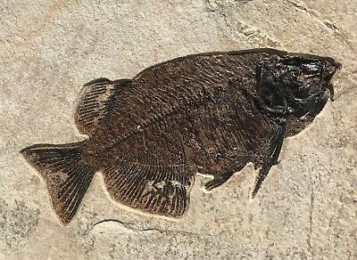 A Beautiful Natural fossil fish Phareodus encaustus from the Eocene of Wyoming