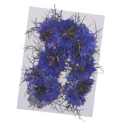 12x Natural Blue Love-in-a-mist Flowers Pressed Dried Flowers for Art Craft