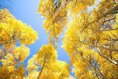 50 x Quaking Aspen Tree seeds. Populus tremula