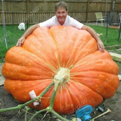 VEGETABLE  PUMPKIN DILLS ATLANTIC GIANT  20 semillas  SEEDS calabaza gigante