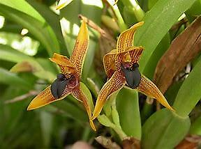 Maxillaria Meleagris ....species,tough, Mounted, Flowering Size, Fast Growing
