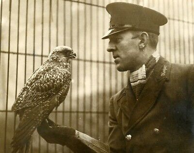 Greenland Falcon arrived from Iceland London Zoo Keeper Faucon old Photo 1932