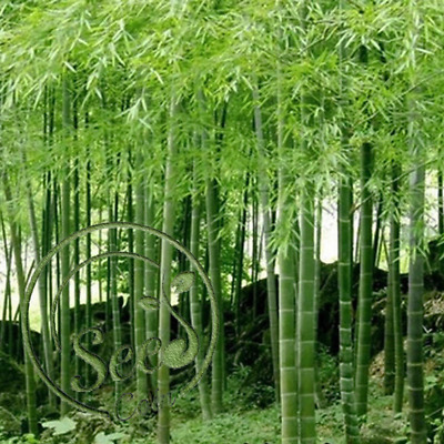 60 Giant Moso Bamboo Seeds Phyllostachys Pubescens Garden Plants S055