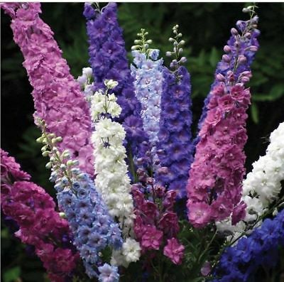 20 seeds Pacific Giant Delphinium Mix Flower Seeds/Perennial