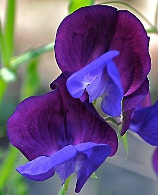 12/72 Seeds Peas Scent Royal Blue Marine/ Lathyrus Northern /Climbing