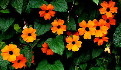 40/240 Seeds Suzanne at the Yeux Black Orange / Thunbergia Alata / Climbing