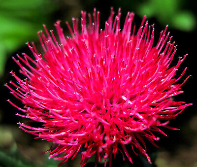40/240 Seeds Levels of the Japan Pink Beauty/Cirsium Japonicum/Japanese Thistle