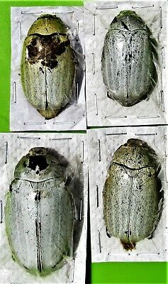 One Uncommon Sugarcane White Flower Beetle Lepidiota stigma FAST FROM USA