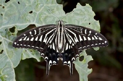 Asian or Chinese Swallowtail Butterfly Papilio xuthus xuthus Folded FAST USA