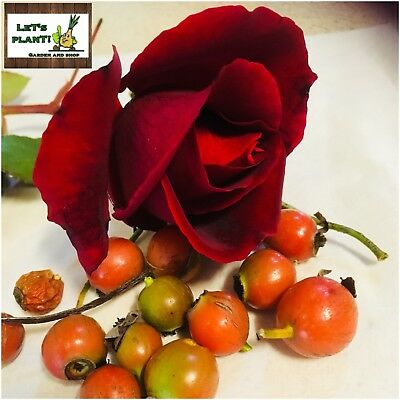 20 Red Rose Seeds Fresh from my garden