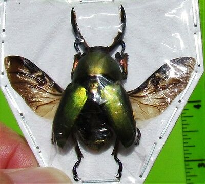 Mount Arfak Stag-Beetle Lamprima adolphinae Spread Male FAST FROM USA