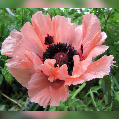 F0836 Papaver Orientale Carneum Pink and Salmon Shades x20 seeds Perennial