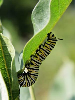 MONARCH CATERPILLAR BUTTERFLY GLOSSY POSTER PICTURE PHOTO PRINT insect 4450