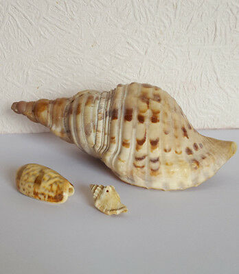 Vintage CONCH SHELL + 2 Other SHELLS