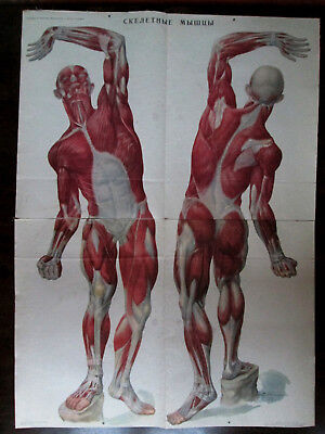 "Soviet Vintage School Poster ""human Anatomy-Muscles"""