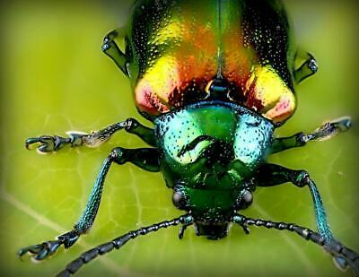 JEWEL METALLIC WOOD BORING BEETLE GLOSSY POSTER PICTURE PHOTO BANNER insect 4434