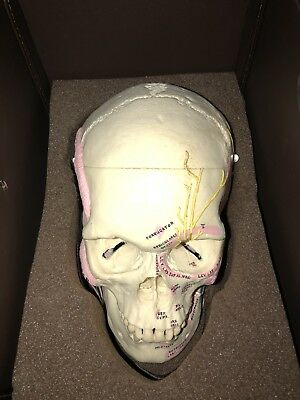 Vintage Antique Dissected Human Skull Medical School Real Teaching Model