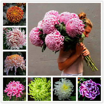 Chinese Mum Seed Rare Perennial Flower Chrysanthemum Plant Seed Mix color 200PCS