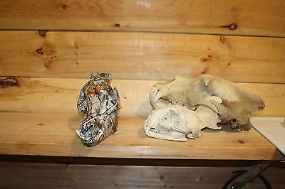 New Hydro Dipped Wild Pig Boar Skull Real Bone and Teeth Taxidermy