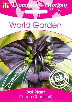 Black Fledermauspflanze - Tacca Chantrieri, House Plant, Approx. 4 Seeds 7338