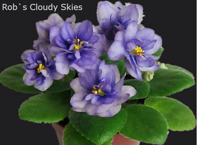 Rob's Cloudy Skies Pflanze/plant African Violet Usambaraweilchen