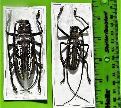 Wallace's Long-horn Beetle Batocera wallacei Pair Medium FAST FROM USA