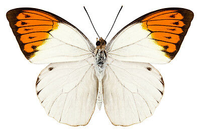 Lot of 20 Great Orange Tip Butterfly Hebomoia glaucippe aturia Male Papered FAST