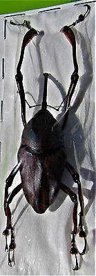 Long Leg Snout Beetle Curculionidae sp.Spread FAST FROM USA