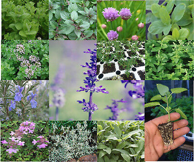 Plug Plants Herbs Pick & mix , Mint, Oregano, Thyme, Good Chicken Bee Plants
