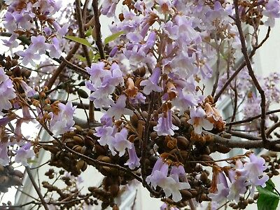Empress Tree Seeds - Paulownia tomentosa - Bonsai Tree - Fast Growing