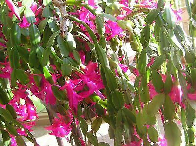 Christmas Cactus 3 One-Year old-fashion Heirloom Plants Schlumbergera bare root