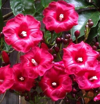 CARDINAL CREEPER Ipomea horsfallia climbing rosy red flowers plant in 140mm pot