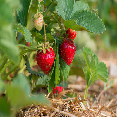 Quinalt Everbearing 25 Live Strawberry Plants, NON GMO,