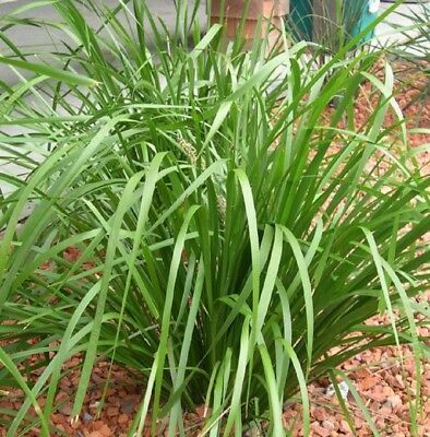KATRINUS DELUXE Lomandra longifolia native hardy grass plant in 120mm pot