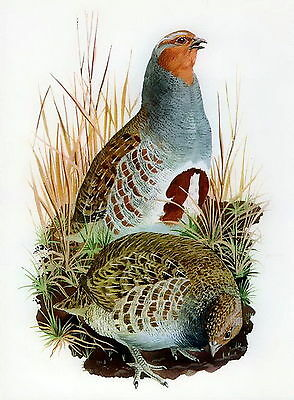 Antique Old Vintage TUNNICLIFFE Lithograph Art Bird Print PARTRIDGE Wild Game