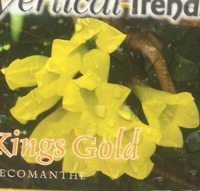KINGS GOLD Tecomanthe RARE climbing pure yellow flowers plant in 140mm pot