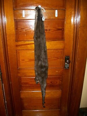 HUGE TANNED RIVER OTTER fur pelt skin 4 FEET CLAW taxidermy craft cites TAG  OF7