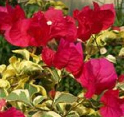 SHIRAZ Bougainvillea red flowers Variegated compact plant in 140mm pot