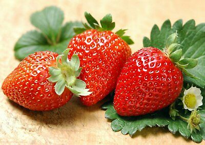 Albion Everbearing Strawberry 25 Bare Root Plants NEW! Extra Large Sweet