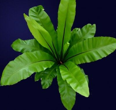 Birds Nest Fern Asplenium nidus Plant 50mm pot WA